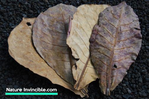 Nature Invincible catappa leaves